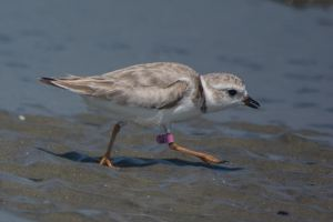 Piping Plover2