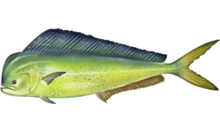 Dolphinfish also known as mahi-mahi
