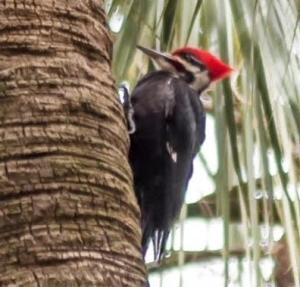 Woodpecker on the Old Oak Walk lot