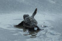 babyturtlewaving (2)cropped 10-17