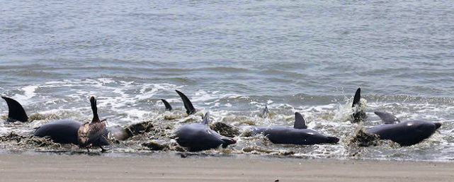 Dolphins Stranding on SI July 2018