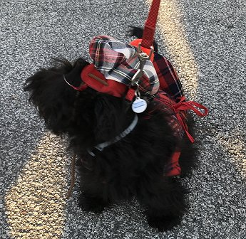 Pet Parade 1st Place Gabi the Scottie Oct 2018