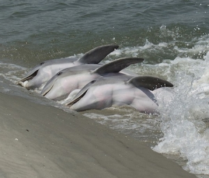 dolphins stranding March 2019