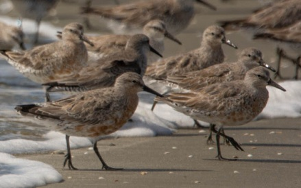 Red Knot March 2019