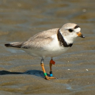 Piping Plover    Aug. 2019
