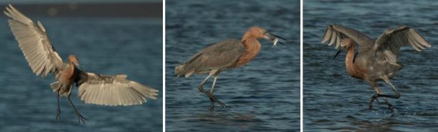SIB Reddish Egret Oct 2019