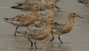 This image has an empty alt attribute; its file name is red-knot-4-15-20.jpg