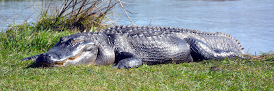 This image has an empty alt attribute; its file name is alligator-april-2021.jpeg